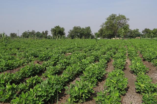 peanut-field-285952_640