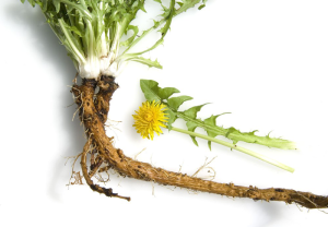 Dandelion root are effective cleanser that helps to flush toxins and excess waste from your body