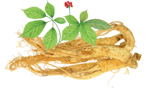 Ginseng popular for memory enhancing effects