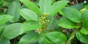 Gurmar Leaves treats obesity
