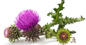 Milk Thistle is particularly useful for cleansing and detoxifying the liver