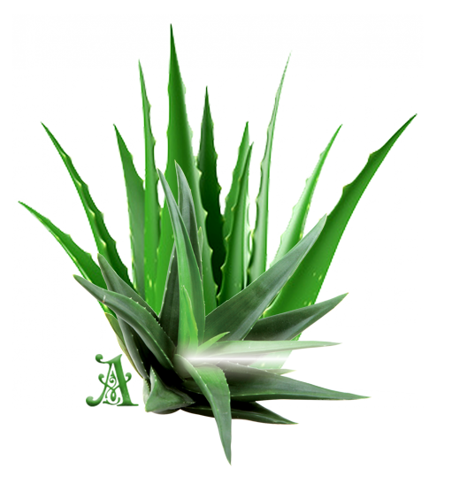 Aloe Vera releases large amount of oxygen which improves air quality