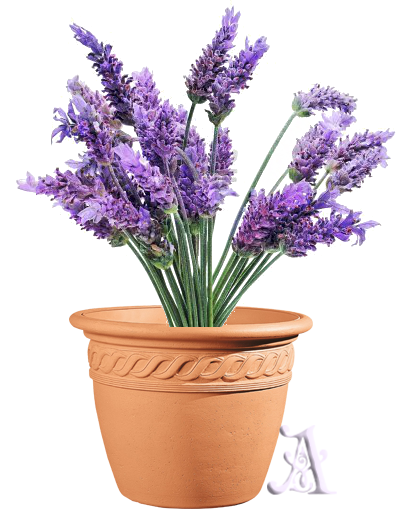 Lavender has a floral fragrance and is very soothing and relaxing.