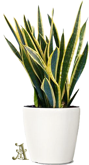 Snake plant releases more oxygen at night than during the day